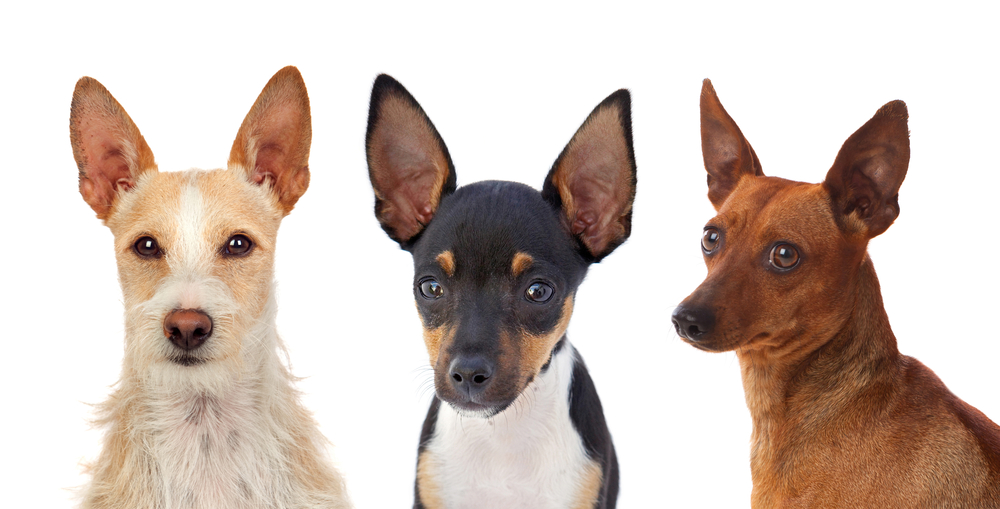 Portrait of funny dogs with funny big ears raised