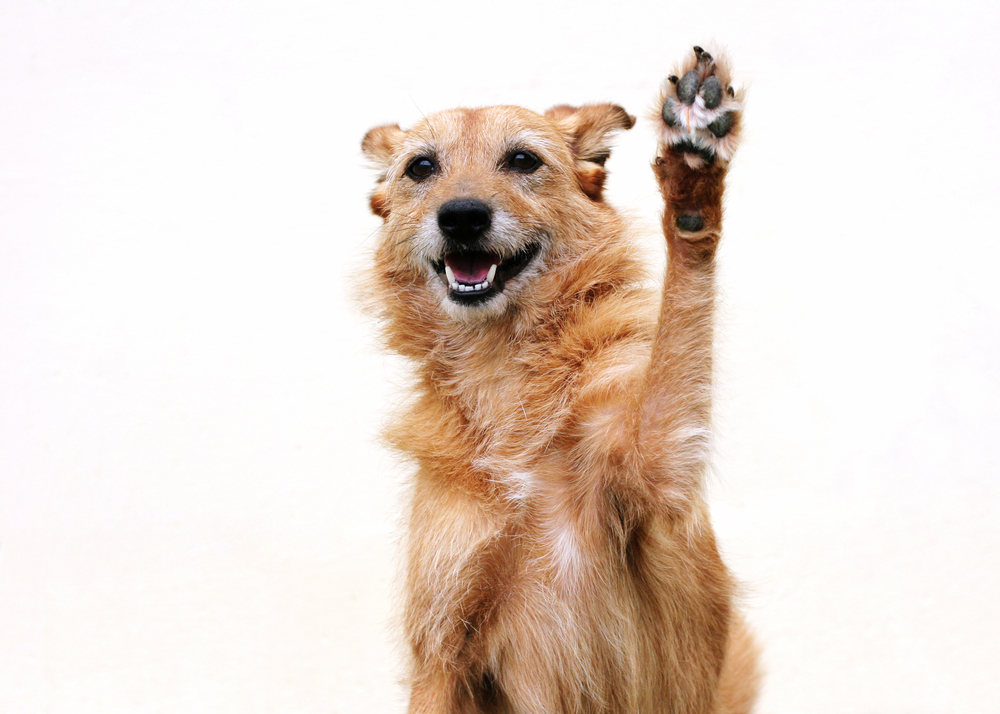a dog wave his paw